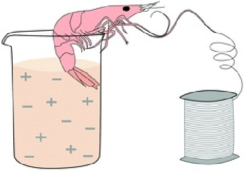 دانلود استخراج كیتین از پوسته میگو و  استفاده از كیتین برای جدا كردن یون منگنز(VII)